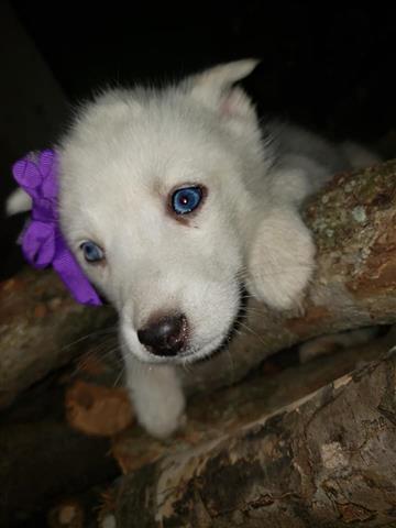 $600 : Siberian Husky. image 1