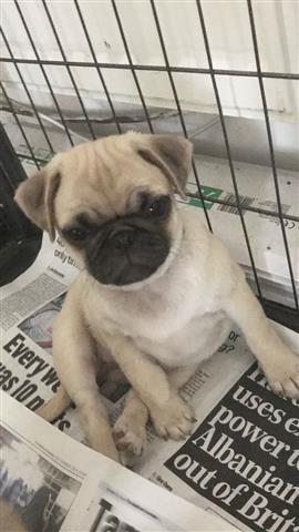 $550 : pug puppies image 3