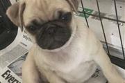 $550 : pug puppies thumbnail