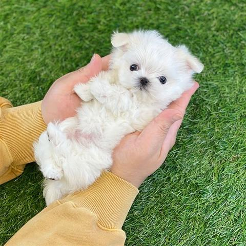$500 : Tea cup puppy for sale image 3