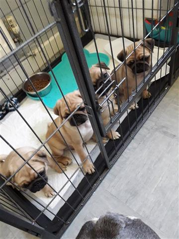 Male PUG Puppies for rehoming image 2