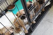Male PUG Puppies for rehoming thumbnail