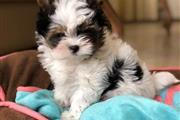 Cute Yorkie mix Puppy