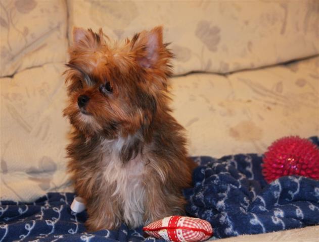 11 weeks old yorkie pup image 2
