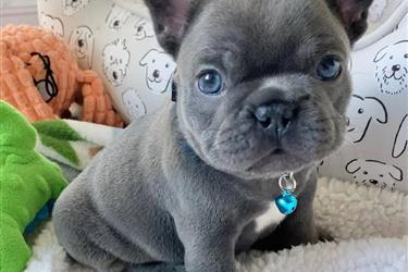 Mini Frenchies For Sale en Los Angeles County