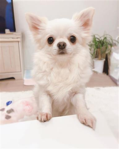 $400 : Teacup chihuahua puppies image 1