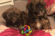 Havanese Puppies Our KC reg Havanese has just giv