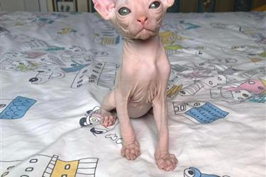 sphynx kitten for sale en Indianapolis