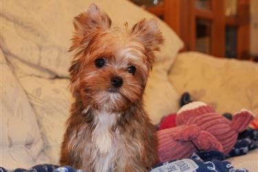 Registered Yorkshire Puppies en Indianapolis