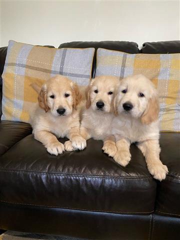 adorable Golden Retrievers Pup image 2