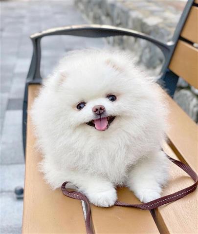 $350 : Pomeranian Puppies image 1