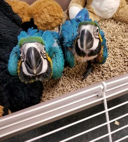 $250 : hermosos bebés guacamayos image 2