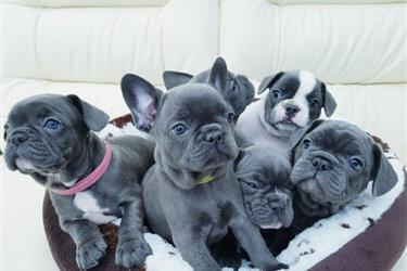 French Bulldog puppies for ado en New Orleans
