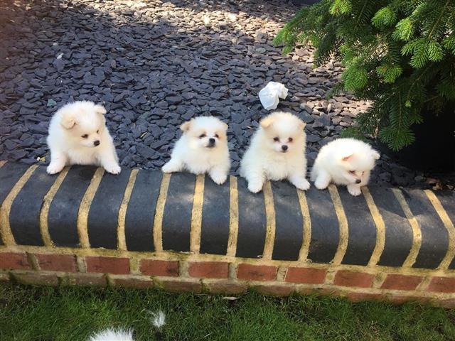 Pomeranian Puppies for Adoptio image 2