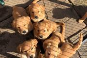 Cute Golden Retriever Pups