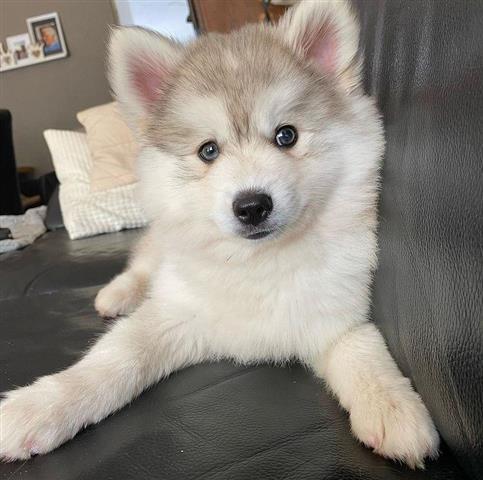 $400 : Pure Siberian Husky image 2