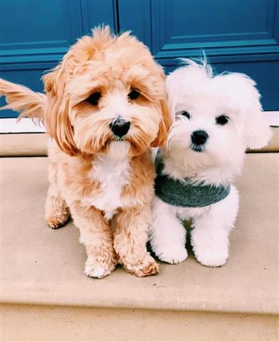 $600 : Maltese Puppy Pets for sale image 2