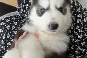 Husky puppies ready thumbnail