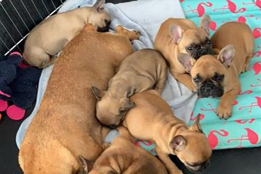 Available French Bulldog en Los Angeles County