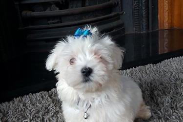 Tiny Maltese puppies en Sacramento County