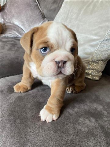 $700 : cachorros de bulldog inglés image 4