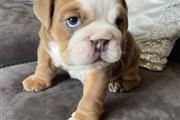 $700 : cachorros de bulldog inglés thumbnail