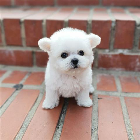 $500 : Tea cup puppy for adoption image 1