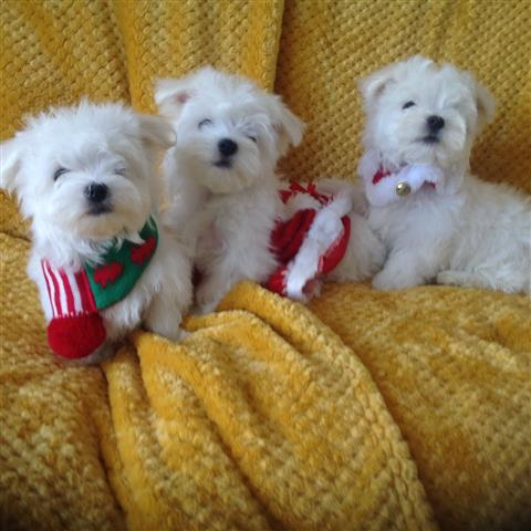 Cutie Maltese Pupppies image 2