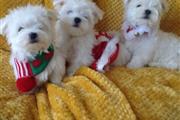 Cutie Maltese Pupppies thumbnail