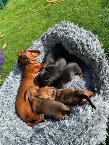 Dachshund Puppies. image 2