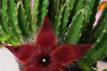 Flor de Estrella Roja en Los Angeles