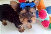Teacup Yorkie Pups available en Dallas