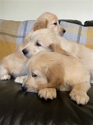 adorable Golden Retrievers Pup image 3