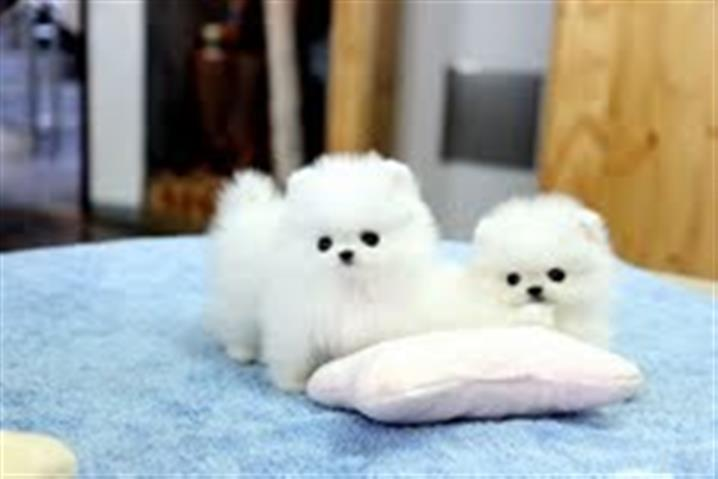 $600 : Pomeranian Puppies for sale image 1