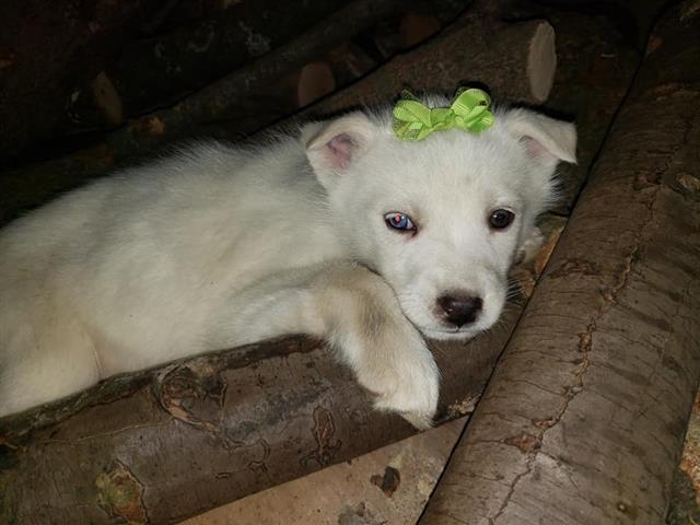$600 : Siberian Husky. image 2