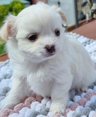 $800 : Longhaired Chihuahua Babies. image 4