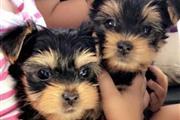hermosos cachorros yorkie