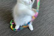 Sweet Blue Eye Ragdoll Kittens en Los Angeles County