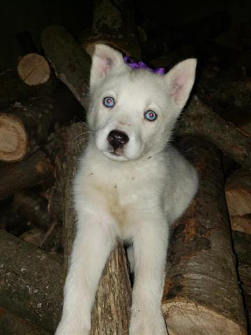 $600 : MALE AND FEMALE HUSKIES PUPS image 2