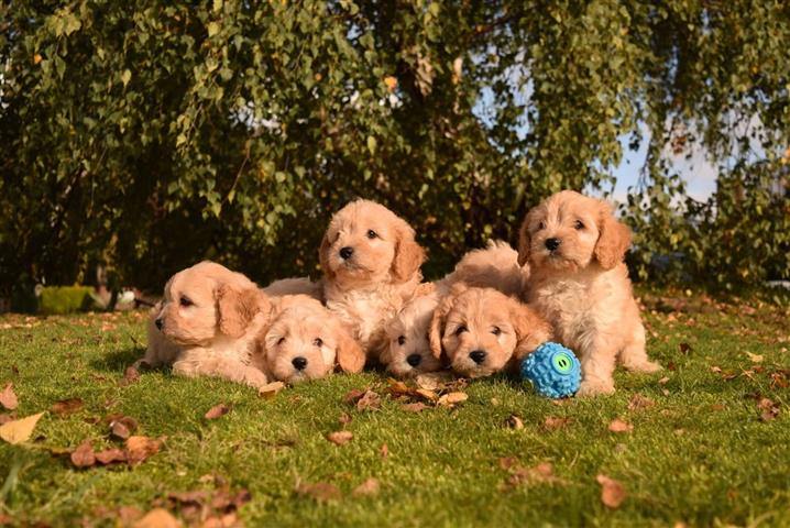 Family Cavapoos Puppies image 3