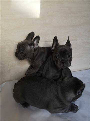Cute French Bulldog Puppies image 1