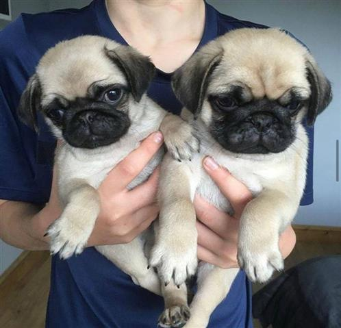 $500 : PUG PUPPIES FOR REHOMING image 3