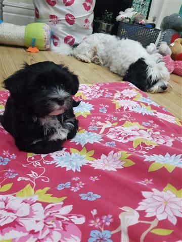 Health Havapoo Tested Puppies, image 1