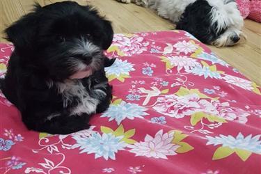 Health Havapoo Tested Puppies, en Syracuse