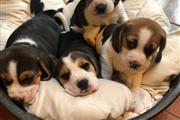 Hermosos cachorros Beagle disp