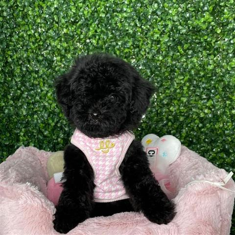 $500 : poodle puppies for sale image 3