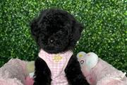 $500 : poodle puppies for sale thumbnail