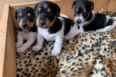Jack Russell Terriers en Shreveport
