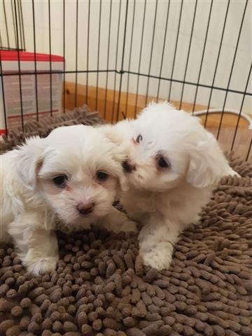 Super Adorable Maltese Puppies image 1