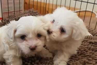 Super Adorable Maltese Puppies en Charlotte